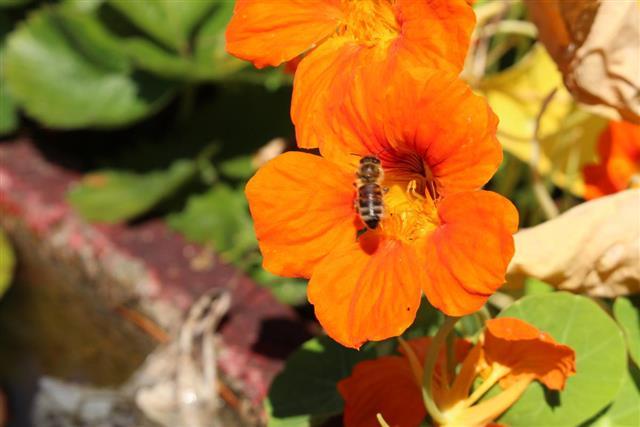 Asian Globeflower - Trollius Asiaticus