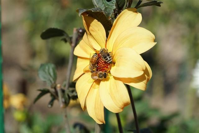 honeybees pollinating daisy flower