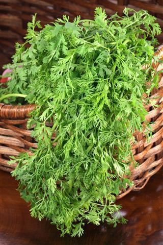 Organic Fresh Cilantro On Basket