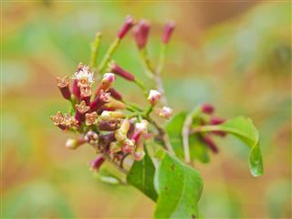 Cloves Plant