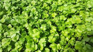 Green Cilantro Herb