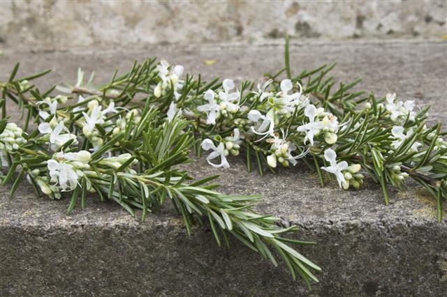 White Rosemary