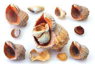 Shells And Rapanas