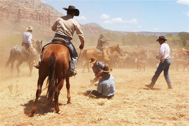 Cowboy Wranglers Branding Herding Cattle