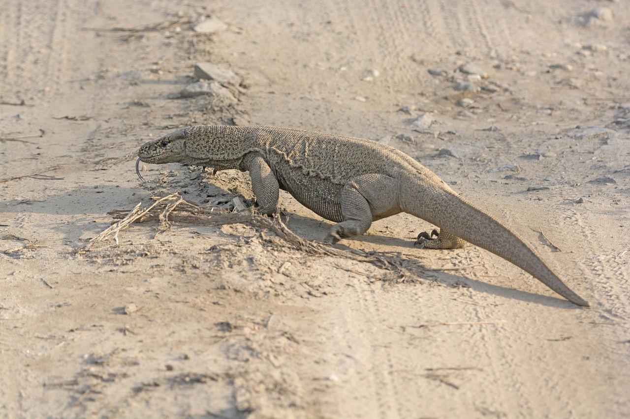 Monitor Lizard Facts