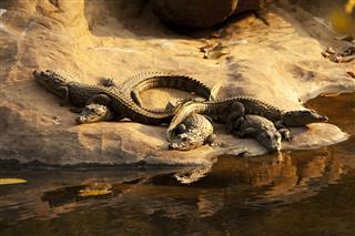 Crocs In Ranthambhore