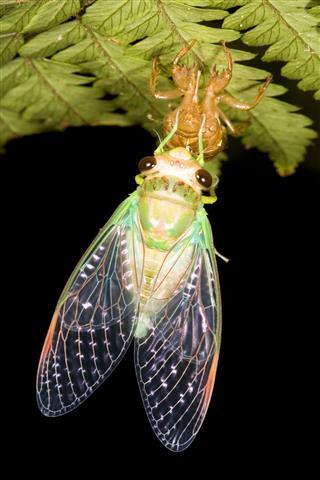 Cicada Metamorphosis