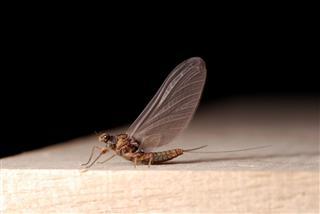 Mayfly Subimago