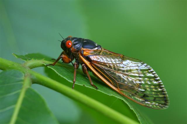 Red Eyed Cicada