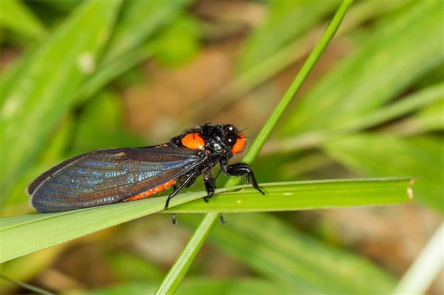 Red Nosed Cicada