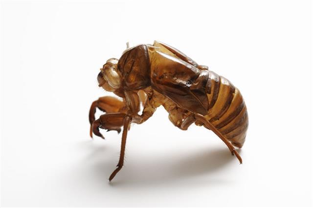 Cicadas Shedding On White Background