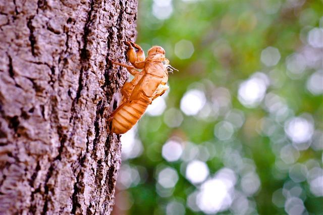 Cicada Molt