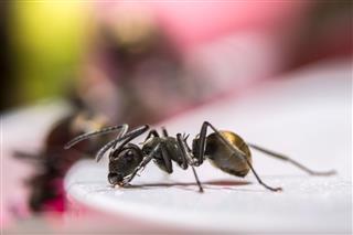 Macro Ant Black