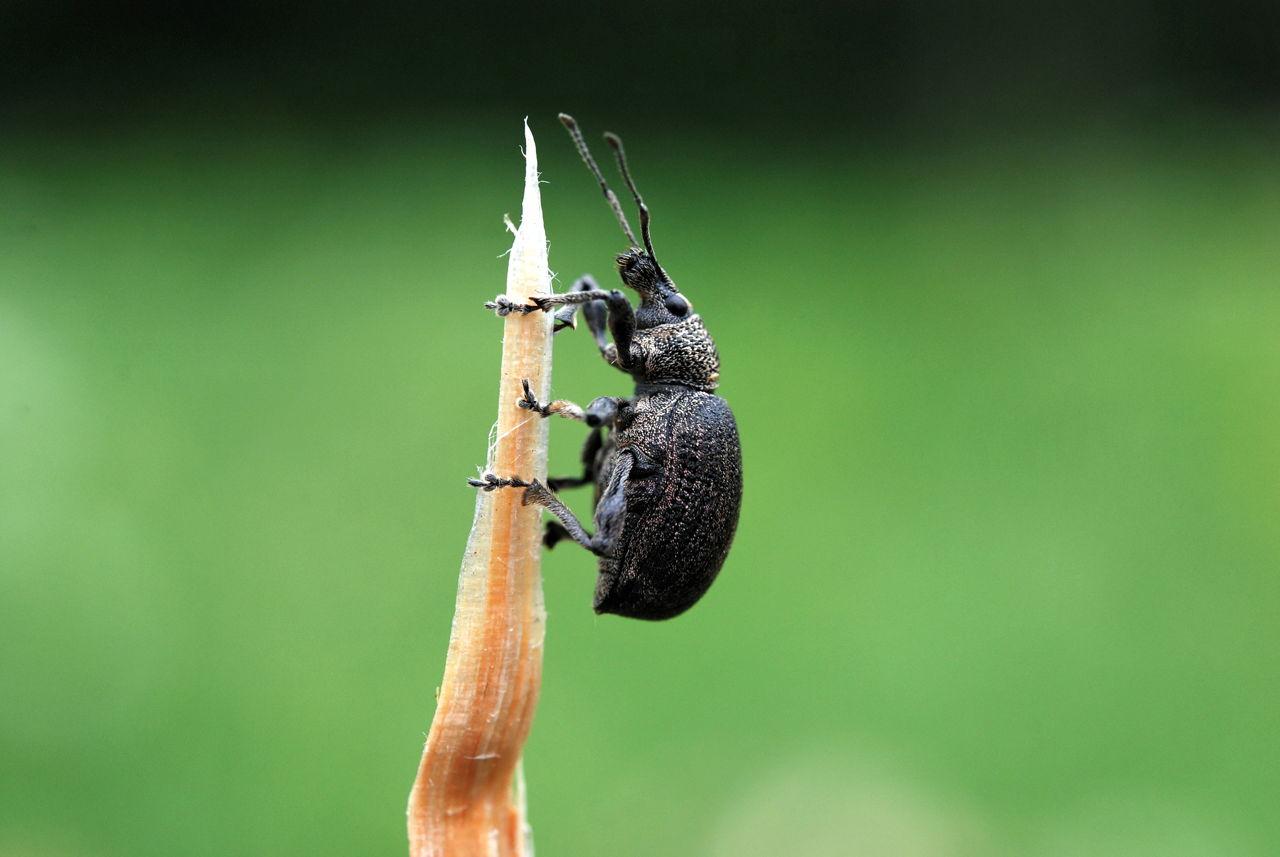 Weevil Bugs