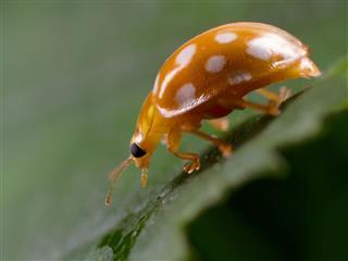 Hazel Ladybird