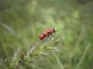 Indian Ladybug