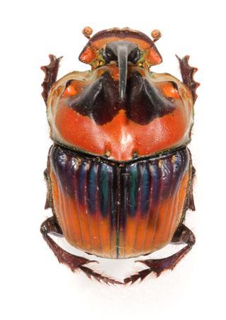 A Bizarre Looking Rhinoceros Beetle