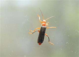 Diurnal Firefly On Top Of Window