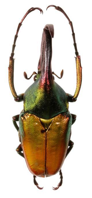 Giant Rhinoceros Beetle