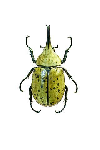 Male Western Hercules Beetle