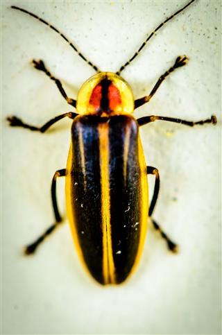 Closeup Of Firefly