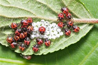 Ladybug Larvae And Eggs