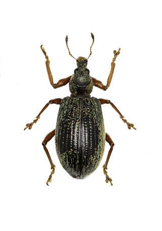 Broad Nosed Weevils