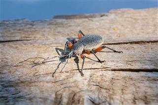 Weevil Otiorhynchus Cardiniger