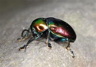Scarab Beetle On The Rocks