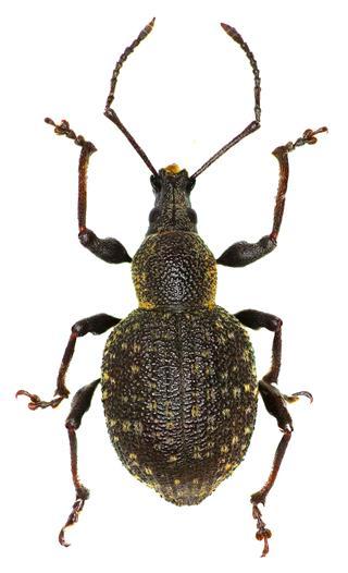 Armadillo Vine Weevil