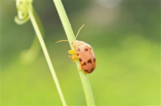 Ladybug Insects