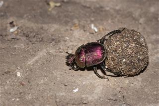 Plum Dung Beetle