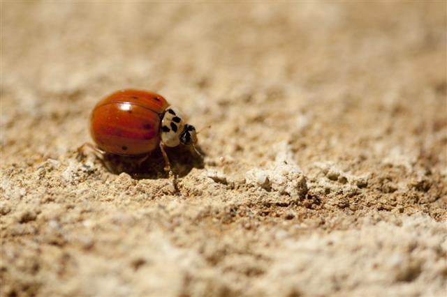 Italian Ladybug