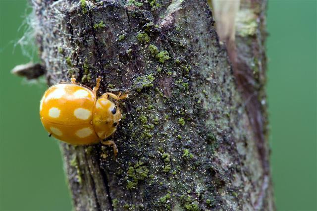 Poisonous Ladybug