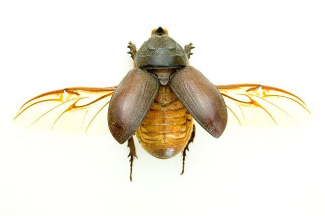 Flying Rhinoceros Beetle