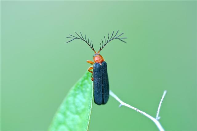 Firefly Closeup