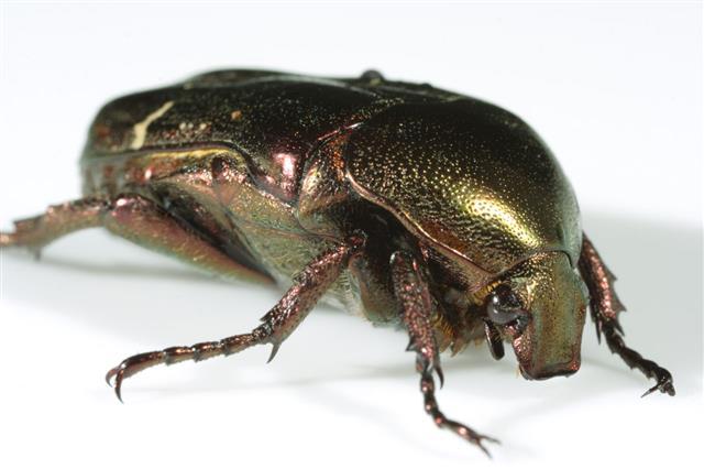 Golden Beetle Macro