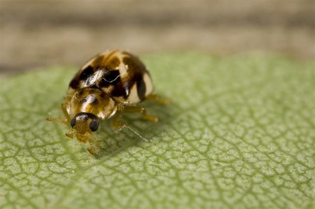Brown Spotted Ladybug