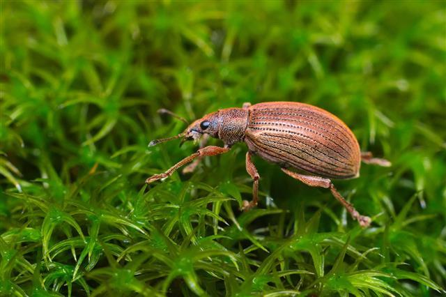 Beetle Broad Nosed Weevil