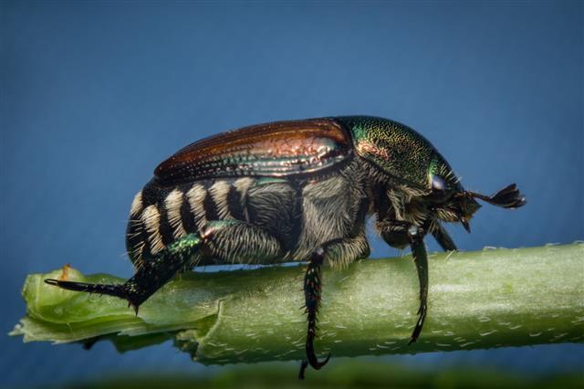 Macro Japanese Beetle