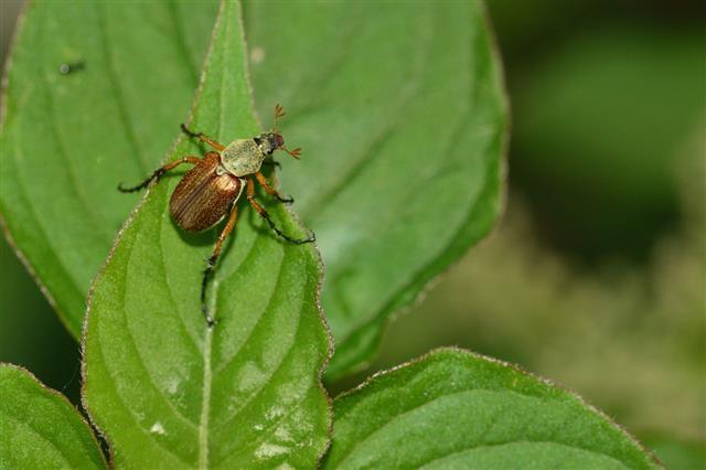 Melolontha Melolontha Beetle
