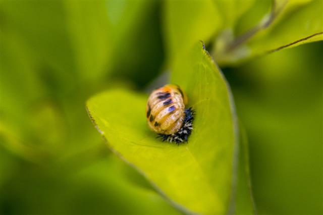 Ladybug Larva On A Plant