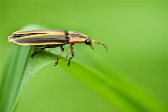 Pennsylvania Firefly