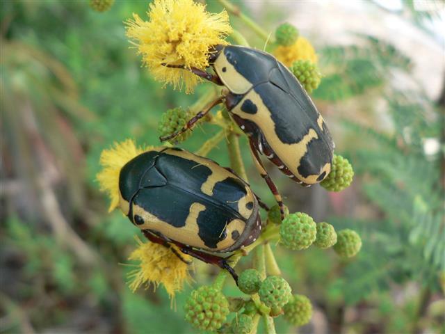 Rose Beetles
