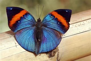 Malaysian Butterfly