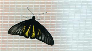 Doleschallia Bisaltide Butterfly