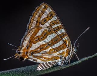 Spidasis Vulcanus Butterfly