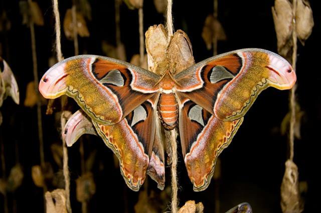 Atlas Moth Butterfly