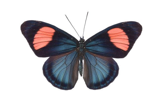 Butterfly Batesia Hypochlora