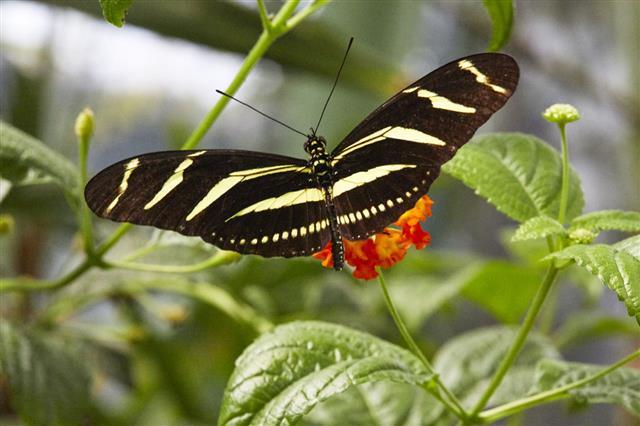 Zebra Longwing Butterfly Macro